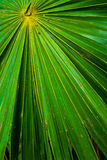Beautiful palm leaf Royalty Free Stock Image