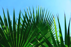 Beautiful palm leaves. Palm leaves in the blue sky Stock Photo