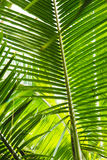 Beautiful palm leaves with background of a real jungle.  Royalty Free Stock Image