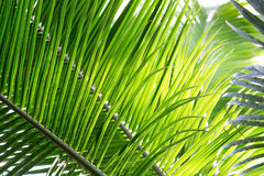 Beautiful palm leaves with background of a real jungle.  Royalty Free Stock Photography