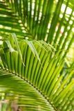 Beautiful palm leaves with background of a real jungle.  Stock Images