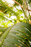 Beautiful palm leaves with background of a real jungle.  Stock Photo