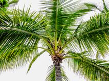 Close up of a palm tree with a gray sky background royalty free stock image