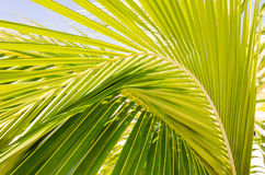 Beautiful palm leaves of  palmtree in sunlight Stock Images