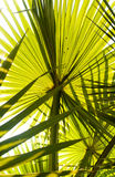 Beautiful palm leaves of tree in sunlight. Corypha lecontei Stock Image