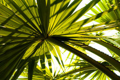 The beautiful palm leaves of tree in sunlight. Corypha lecontei Royalty Free Stock Photo