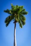 Beautiful palm tree Royalty Free Stock Photo