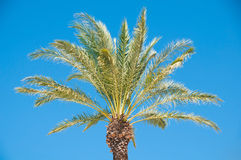 Beautiful palm tree against a blue sky. Stock Image
