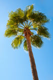 Beautiful palm tree against a blue sky Royalty Free Stock Image