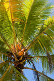 Beautiful palm tree with blue sky Stock Photography
