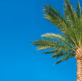 Beautiful palm tree on blue sky background Royalty Free Stock Images
