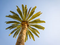 Beautiful palm tree with blue sunny sky. Bottom-up view of a beautiful palm tree with blue sunny sky Royalty Free Stock Photos