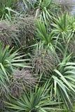 Beautiful palm tree Dracaena in Ireland Royalty Free Stock Photos