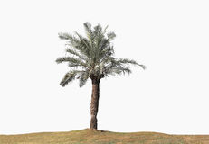 Beautiful palm tree with ground, on white background. Stock Photos