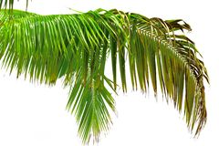 Beautiful Palm Tree Leaf. Palm tree on the white background Royalty Free Stock Photography