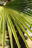 Beautiful Palm Tree Leaf Stock Photography