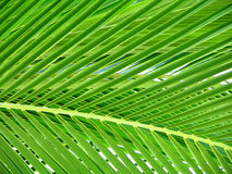 Beautiful Palm Tree Leaf. Looking through warm green palm tree leaves Royalty Free Stock Photography