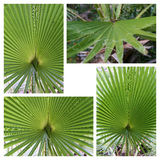 Beautiful Palm Tree Leaf Royalty Free Stock Images
