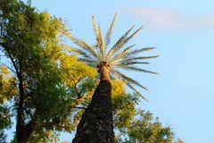 A beautiful palm tree on one of the boulevards of Murcia stock photo