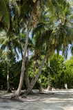 Beautiful palm trees against the blue sky. Maldives. Maldives - November, 2017: Beautiful view of the palm tree on the beach of the Maldives, sand and blue sky Stock Photo
