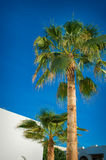 Beautiful palm trees on blue sky background Royalty Free Stock Photos