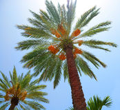 Beautiful palm trees. Stock Image