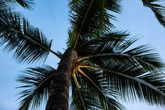 Beautiful palm trees with a blue sky in Waikiki Honolulu Hawaii. On 4th October 2018 royalty free stock photography