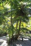 Beautiful palm trees on the coast of Anse Lazio Royalty Free Stock Photography