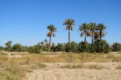 Beautiful palm trees in desert. Tropical trees, blue sky, beautiful scenery sunny day. African landscape Royalty Free Stock Photos