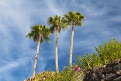 Beautiful Palm Trees in Fuerteventura Royalty Free Stock Photo