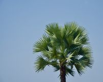 A palm tree with green leaves unique photo. Beautiful palm trees with green leaves with blue sky background unique natural photo stock images