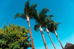 Beautiful palm trees lined in a sunny day. In Minas Gerais, Brazil Stock Photos