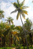Beautiful palm trees in the Tayrona natural resort.  Stock Photo