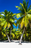 Beautiful palms on sandy beach. With clear sand Royalty Free Stock Photos