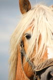 Beautiful palomino draught horse head close up. With halter Royalty Free Stock Image