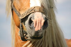 Beautiful palomino draught horse head close up Stock Image