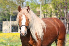 Beautiful palomino draught horse portrait Royalty Free Stock Image