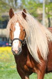 Beautiful palomino draught horse portrait Stock Images