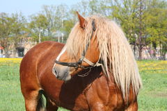 Beautiful palomino draught horse portrait Stock Photography