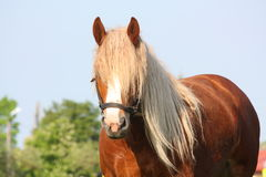 Beautiful palomino draught horse portrait Royalty Free Stock Photography