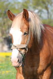 Beautiful palomino draught horse portrait Stock Image
