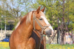 Beautiful palomino draught horse portrait Royalty Free Stock Photos