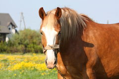 Beautiful palomino draught horse portrait Royalty Free Stock Images