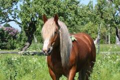 Beautiful palomino draught horse portrait Royalty Free Stock Photography