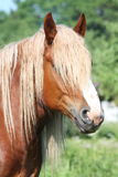 Beautiful palomino draught horse portrait Royalty Free Stock Photo