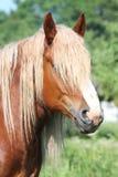 Beautiful palomino draught horse portrait Royalty Free Stock Photo