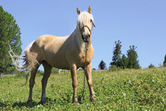 Beautiful palomino gelding grazing in an alpine. Beautiful palomino gelding grazing in the alpine meadow Royalty Free Stock Photo