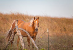 Beautiful Palomino Horse Royalty Free Stock Photography