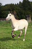 Beautiful palomino horse running Royalty Free Stock Images