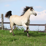 Beautiful palomino horse running Royalty Free Stock Image